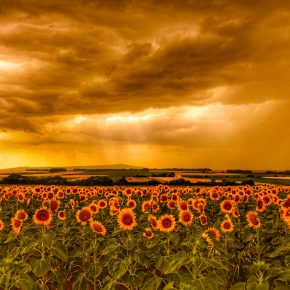 M_W50_Sunflower field in the light of a storm - Mariana Vencelova - Austria