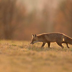 S_W30_Searching fox -Juraj Bencik - Czechia