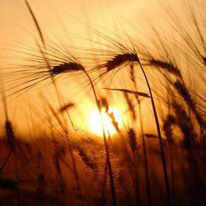 S_W30_Wheat field spirit - Ferri Razi - Belgium